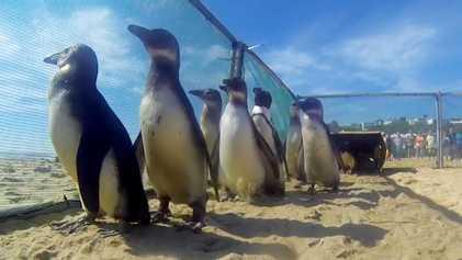 Estos pingüinos rescatados caminan hacia la libertad