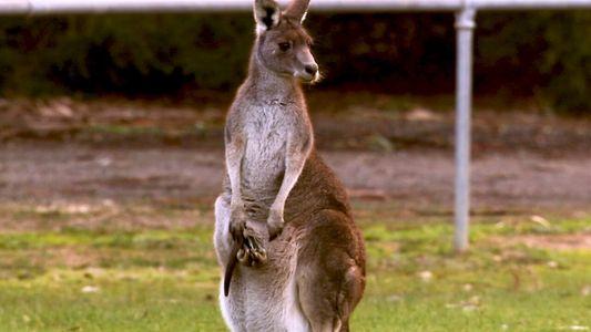 Conoce a los animales saltarines más grandes del mundo: los canguros