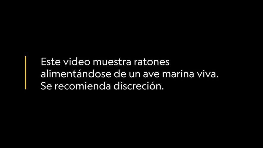 Imágenes fuertes: Ratones se alimentan de aves marinas vivas