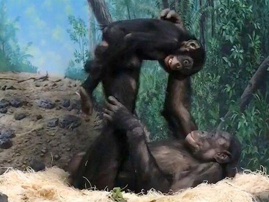 """Bonobos """"juegan al avioncito"""" en Cincinnati"""