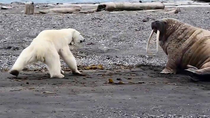 Desesperada por conseguir alimento, una madre osa polar considera probar una morsa