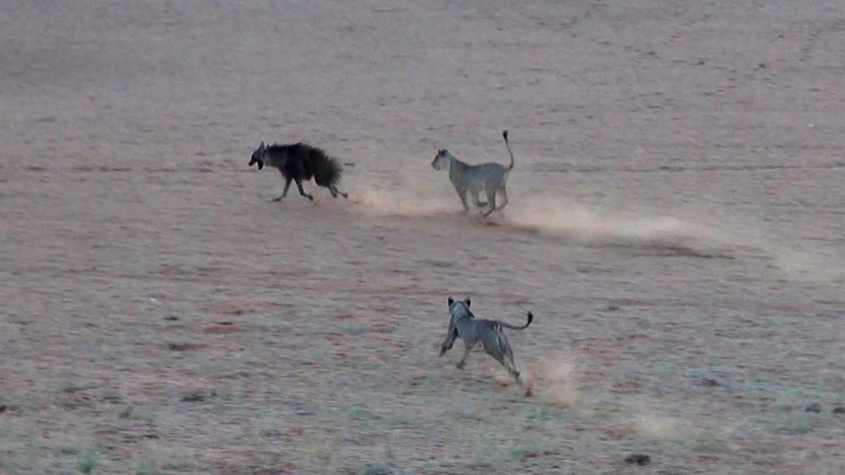 Tensa persecución a hiena que invade territorio de leones