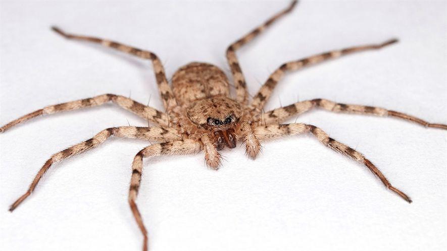 Estas arañas atacan con el giro más rápido del mundo