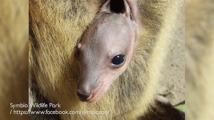 Raras imágenes de un bebé wallaby creciendo en la bolsa de su mamá