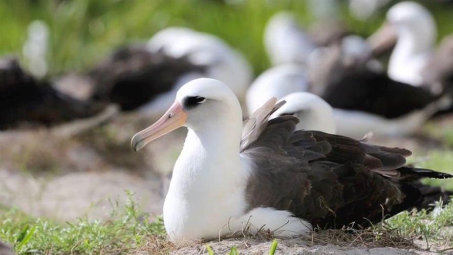 El ave silvestre más longeva conocida pone un huevo a los 67 años
