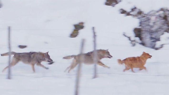 ¿Por qué estos lobos persiguen a un perro y no a un caballo?