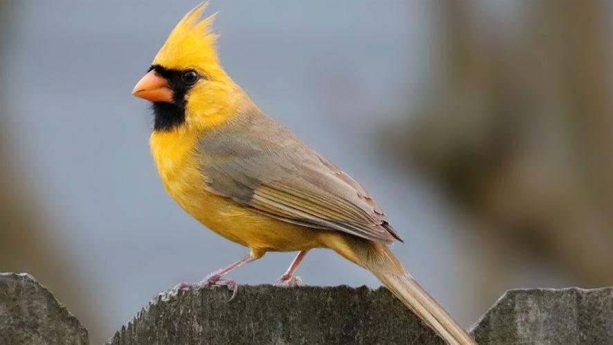 Raro cardenal amarillo visto en Alabama