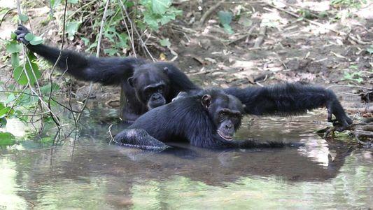 Como nosotros, estos chimpancés se dan un chapuzón en el río para mantenerse frescos