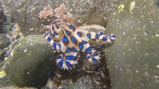 El pulpo de anillos azules, uno de los más letales del océano