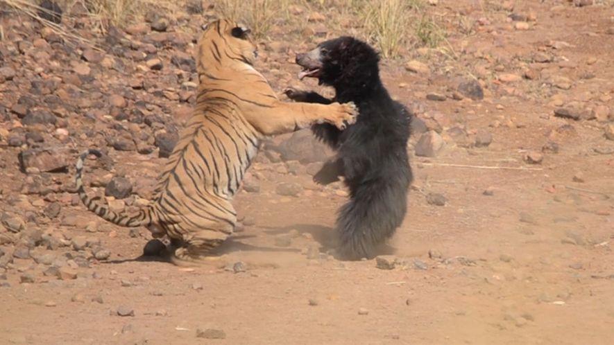 Una mamá oso lucha contra un tigre para salvar a su cachorro