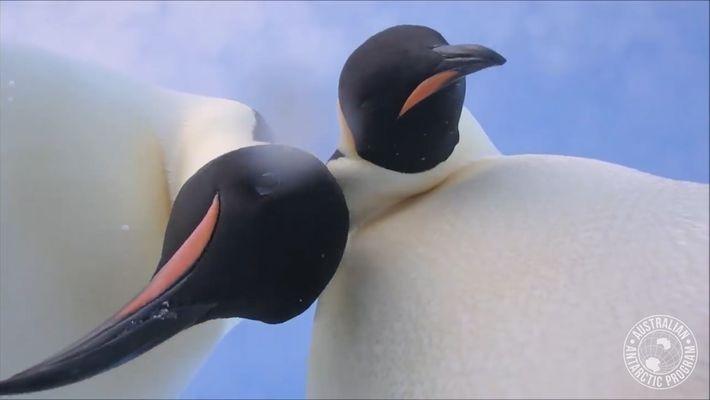 """Un par de pingüinos curiosos descubren """"la selfie"""""""
