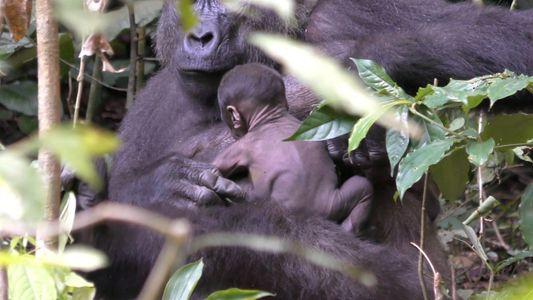 Un gorila salvaje recién nacido aferrándose a su madre