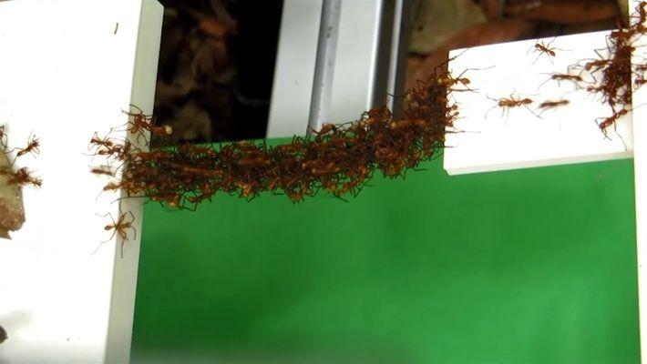 Descubre cómo las hormigas construyen puentes solo con sus cuerpos