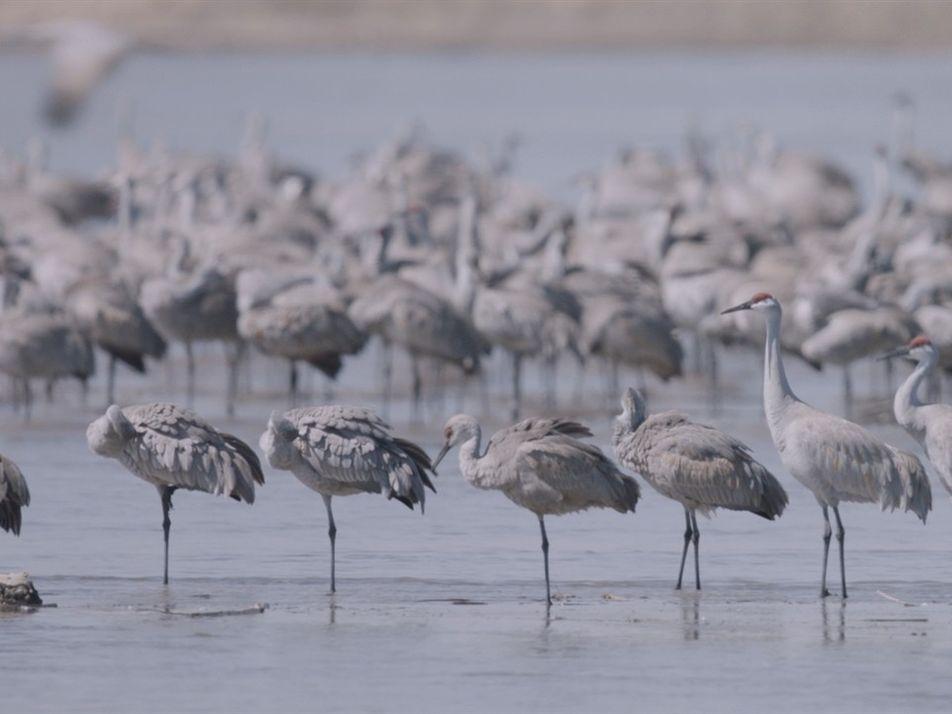 Miles de grullas toman vuelo en una de las más grandes migraciones de la Tierra