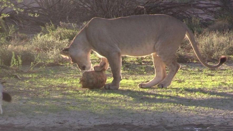 Un león trata de comer una tortuga