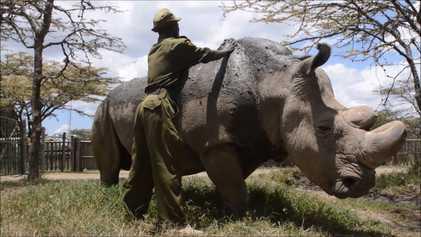 Un año de la muerte de Sudán, el último rinoceronte blanco del norte macho que quedaba ...