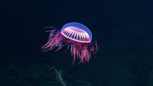 Una fascinante medusa captada en un raro video, en México