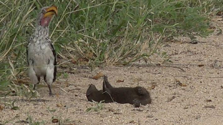 La divertida reacción de una mangosta al ver a un potencial depredador