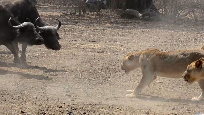 Manada de leones vs. 500 bufalos: ¿quién ganará?