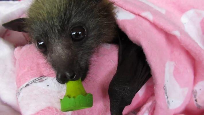 Murciélagos bebé rescatados y envueltos en sábanas