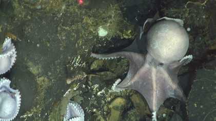 Encuentran un refugio de pulpos a inusual profundidad