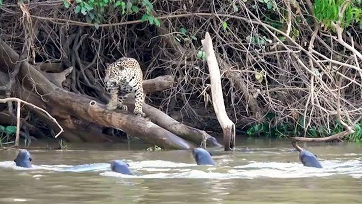 Jaguares vs. Nutrias gigantes: ¿Quién ganará?