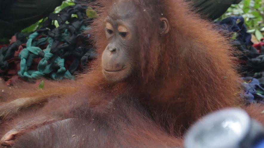 Evitan que un bebé orangután y su madre sean víctimas de los seres humanos