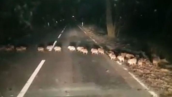 ¿Por qué estas crías de jabalí cruzaban la calle?