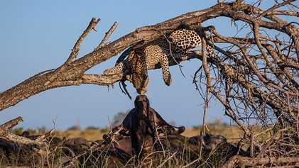 """Un leopardo y un búfalo se """"besan"""" en ésta rara grabación"""