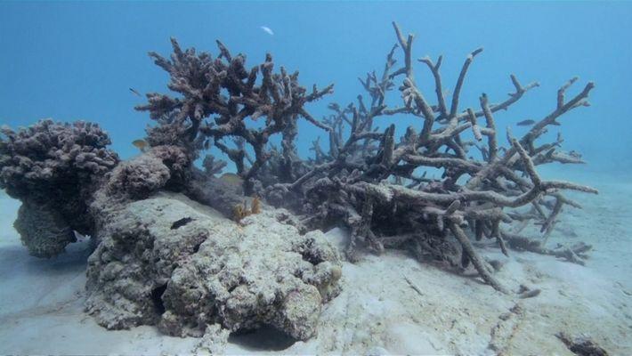 Encuentran arrecifes de coral en grave peligro en la isla samoana de Upolu