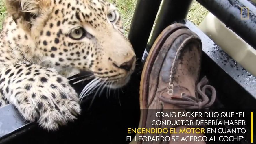 Un leopardo juega con el pie de un turista