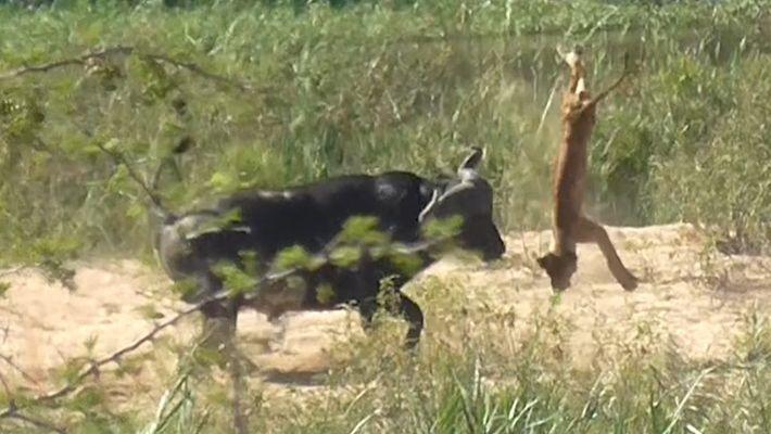 Un búfalo lanza por los aires a un cachorro de león
