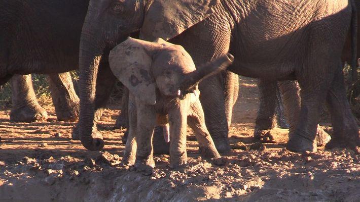 ¿Por qué este elefante bebé gira su trompa como un helicóptero?