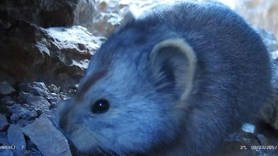 Raro video de un diminuto mamífero parecido a un muñeco de peluche