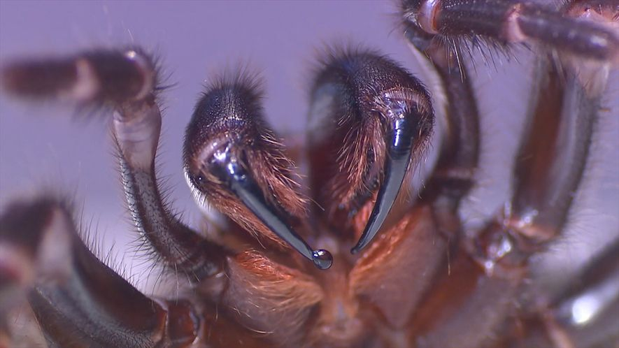 """""""Ordeñar"""" a esta araña mortal podría salvar vidas"""