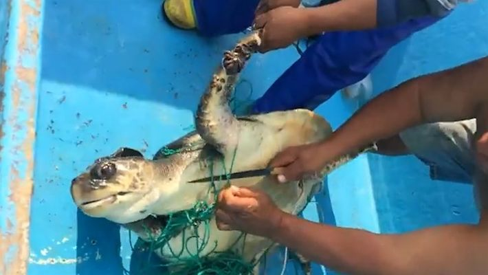 Una tortuga marina es rescatada de una red fantasma abandonada