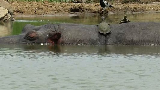 Tortugas oportunistas toman sol sobre la espalda de hipopótamos