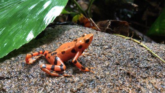 Cientos de ranas liberadas en Panamá, en una misión para salvar a su especie