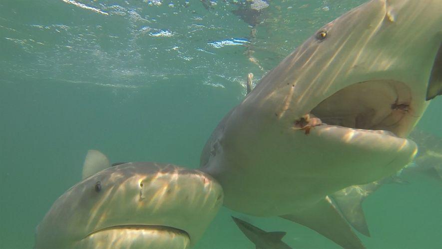 Descubre qué objeto ahuyenta a los tiburones
