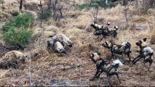 Un clan de hienas se enfrenta con una manada de licaones