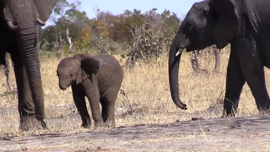 Un bebé elefante sin trompa