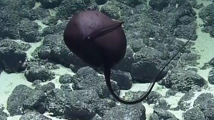 Un raro pez provoca hilarantes reacciones de científicos