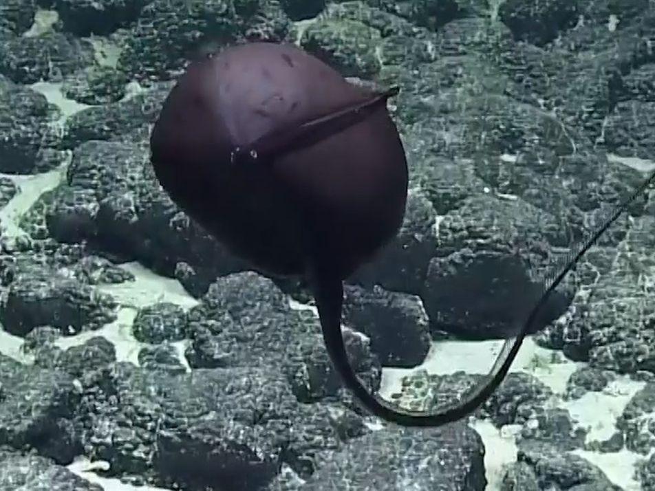 Un bizarro pez provoca hilarantes reacciones de científicos