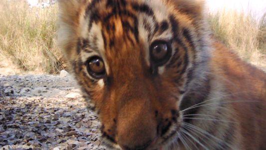 El esperanzador aumento de la población de tigres en Nepal