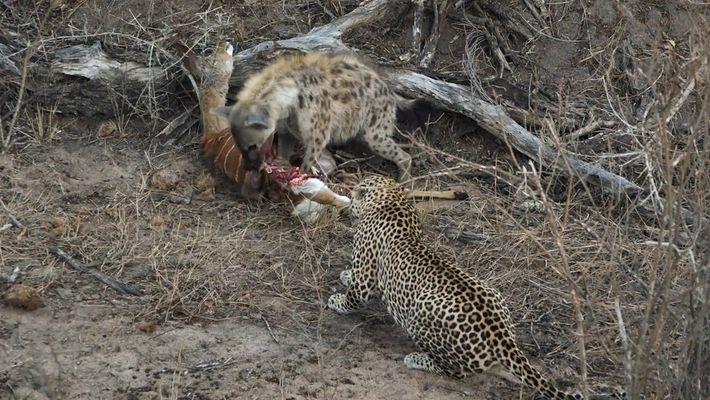 Una hiena y un leopardo comparten la comida hasta que algo interrumpe la tregua