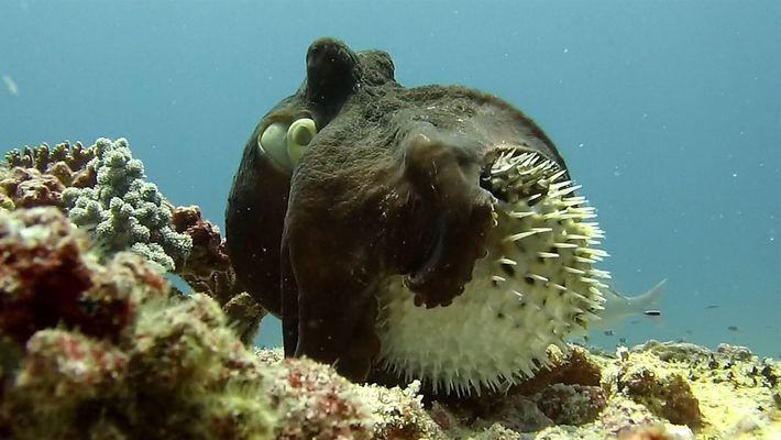 Imágenes de un encuentro insólito entre un pulpo y un pez globo