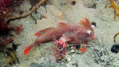 """Descubren una rara colonia de peces """"con manos"""" en Tasmania"""