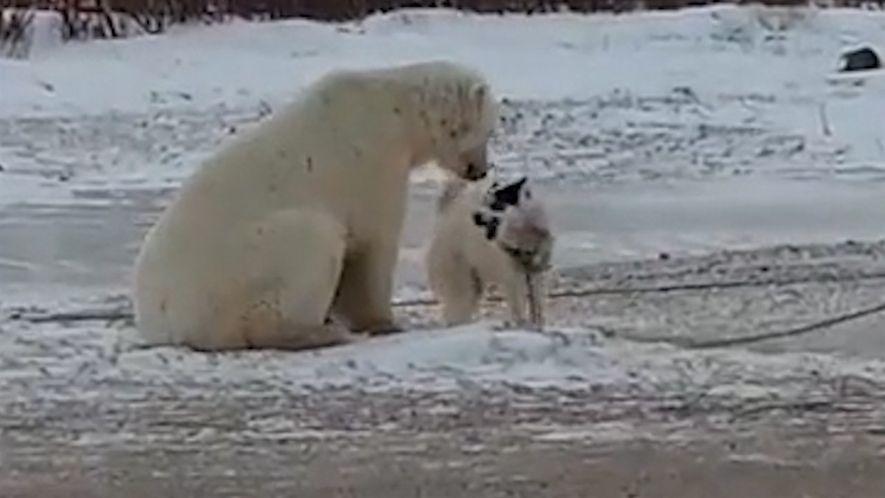 La particular amistad entre un perro de trineo y un oso polar