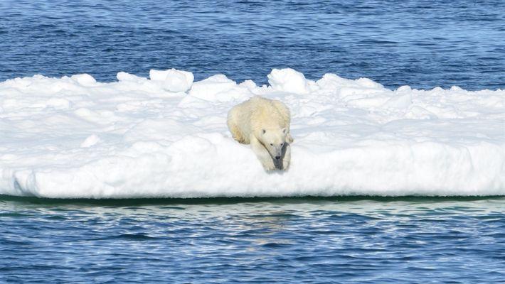 Osos polares mueren de hambre por la disminución del hielo