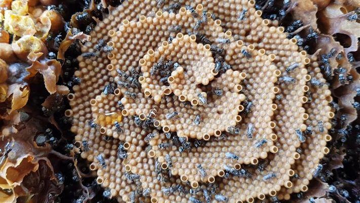 Estas abejas sin aguijón australiana construyen colmenas en espiral